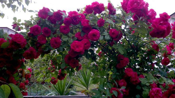 Czerwiec 2015 Róże i Clematisy 4K