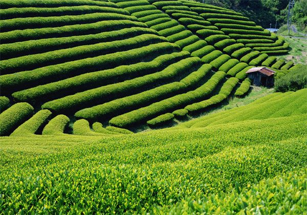 A tea Garden in Ujitawara (Southern Kyoto) 京都 宇治田原の茶畑