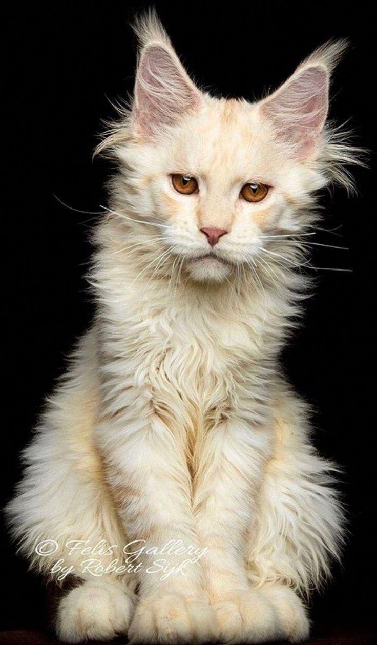 Cats In The Cradle Song Maria Karageorgi Katzen Mainecoon Katze Tiere