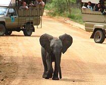 South Africa: Baby Elephants, South Africa Yep, Kruger Parks, Africa Great Escape, Africa Minis, Africa Greatescap, Africa Baby, Africa Animal, Africa Priceless