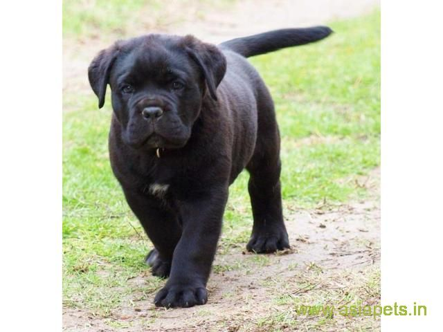 Cane Corso Puppy For Sale In Kathmandu Best Price In Nepal Cane Corso Puppies Cane Corso Corso Dog