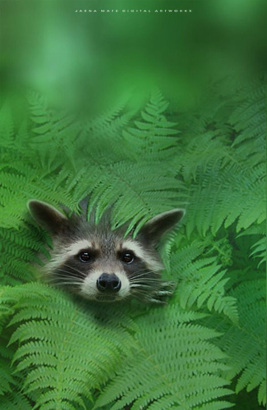 A Raccoon Rascal ~ Framed in Ferns.
