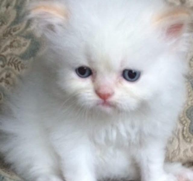 Persian and Himalayan Kittens for sale New Jersey  Tel (201)398-6766