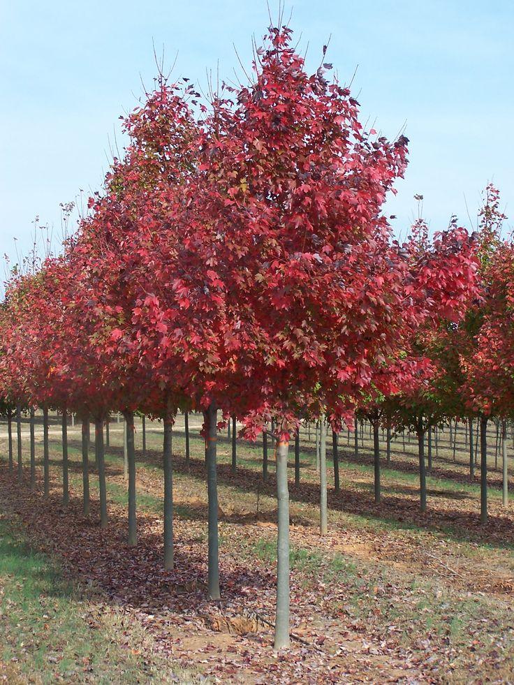 Acer rubrum fairview flame lipstick maple red maple tree - Arce rubrum bonsai ...