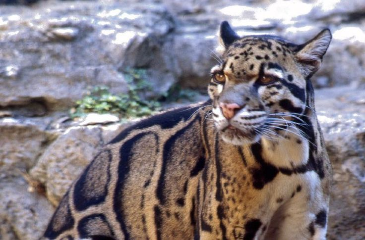 The Amazingly Beautiful Clouded Leopard!