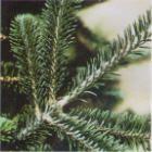 Fraser Fir Christmas Tree Online Branch Image