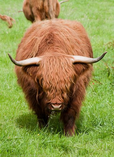 Highland Cattle - we pick up our bull 'ANGUS' today.  Some day he'll look like this.  Thank goodness he's just 10 months old for now!!