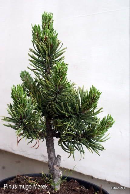 Pinus mugo Marek