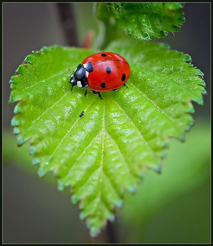 Ladybug on a heart-shaped leaf.