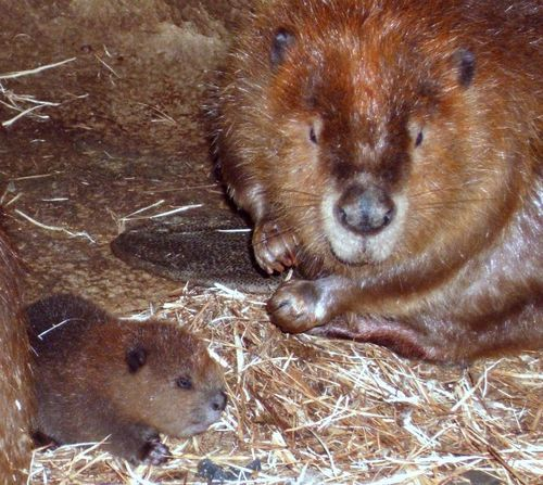 Baby beaver and mom at Jackson Zoological Park 3