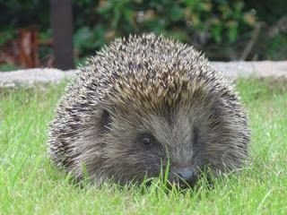 Where did all our hedgehogs go? By Kirsty Jackson