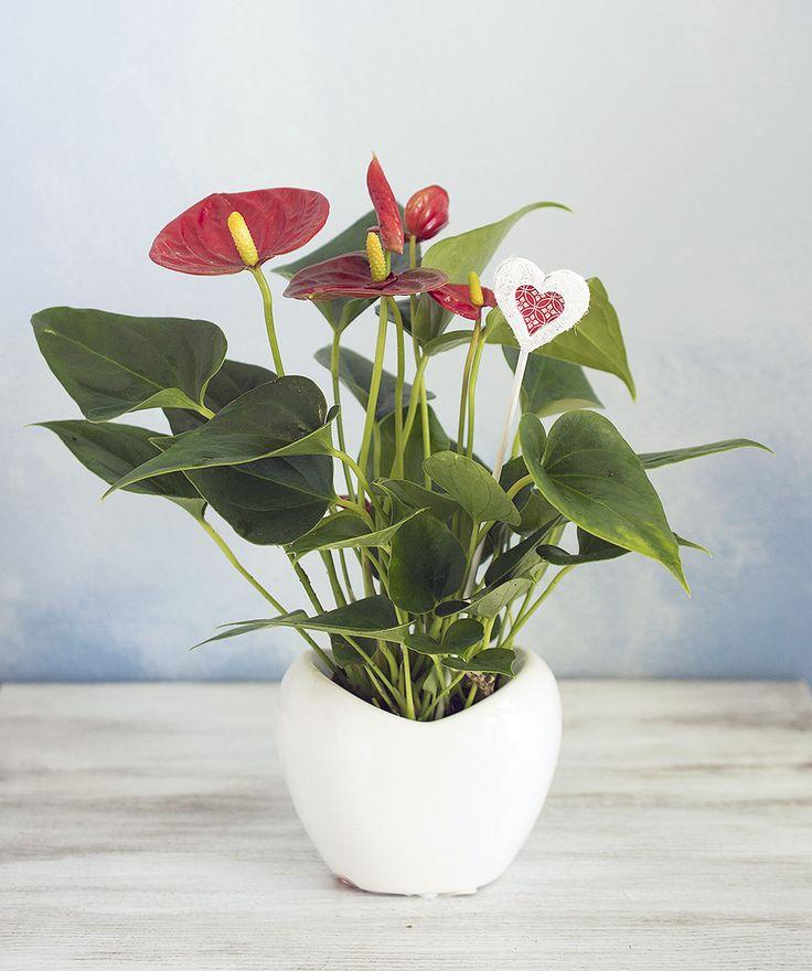 Srdiečkový zápich pre maminku, anthurium, houseplant http://kvetinovyobchodik.sk/