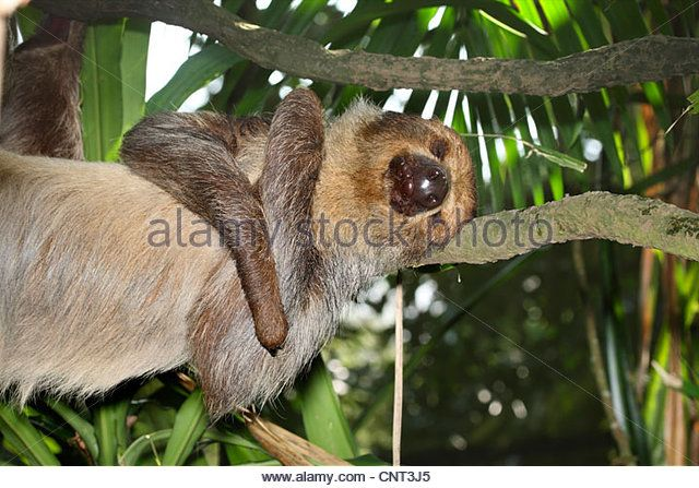 """SLOTH SPECIES #5 Of 6 (MEGALONYCHIDAE FAMILY'S ONLY GENUS,GENUS CHOLOEPUS (THETWO-TOED SLOTHS): LINNAEUS'S TWO-TOED SLOTH. 'Linnaeus's Two-toed Sloth(Choloepus didactylus), aka theSouthern Two-toed Sloth,Unau, orLinne's Two-toed Sloth,isfound inVenezuela, theGuyanas,Colombia,Ecuador,Peru, Brazilnorth of theAmazon River, & possiblyBolivia. Choloepus means """"lame foot"""". Wikipedia.' [Image: """"linnaeus-two-toed-sloth-choloepus-didactylus-hangs-at-a-branch-cnt3j5.jpg…"""