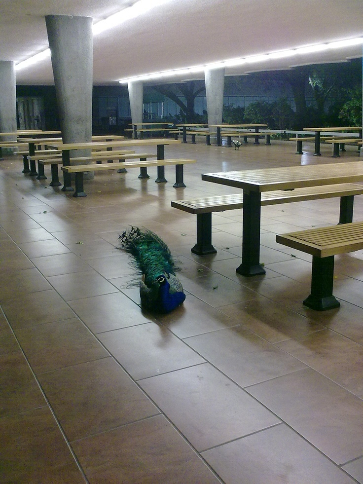 2012 05 Pavo Real Noche Biblioteca ITESM