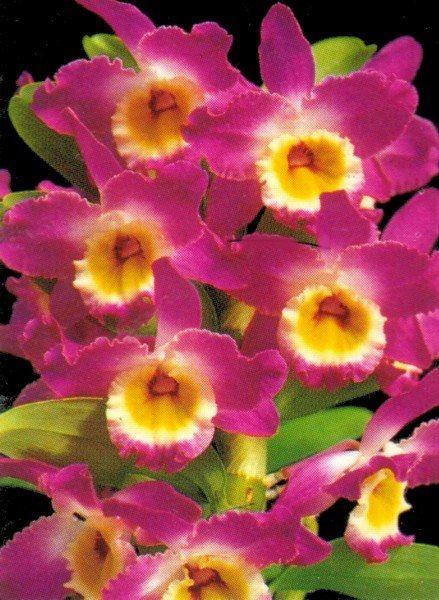 17 best images about dendrobium nobil orchid on pinterest. Black Bedroom Furniture Sets. Home Design Ideas