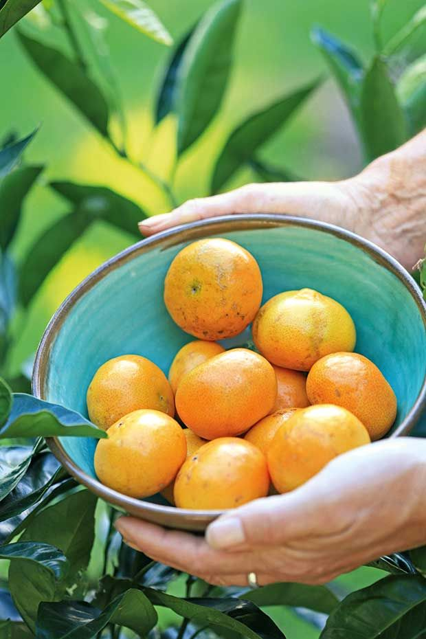 Tips For Growing Citrus Trees In Small Spaces And Containers Growing Citrus Citrus Trees Citrus