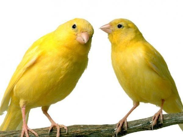 Como alimentar um canário