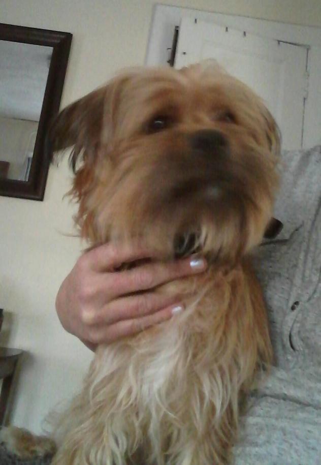 Dougie  Dog • Yorkshire Terrier Yorkie & Shih Tzu Mix • Young • Male • Small  TravelingPaws Cranford, NJ