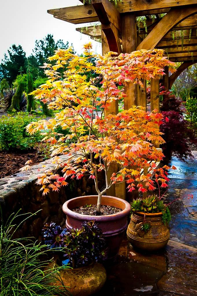 Buy Autumn Moon Japanese Maple Online. Arrive Alive Guarantee. Free Shipping On All Orders Over $99. Immediate Delivery.