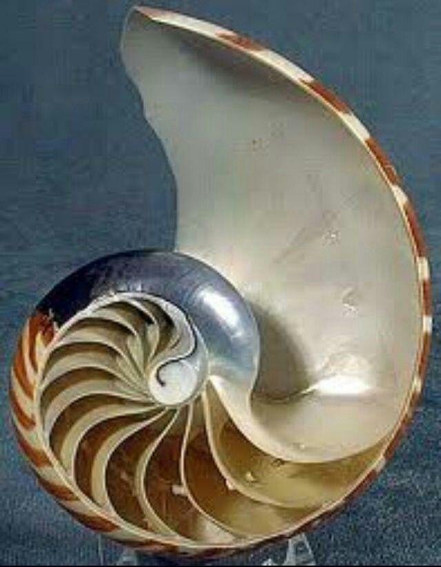 Nautalis shell