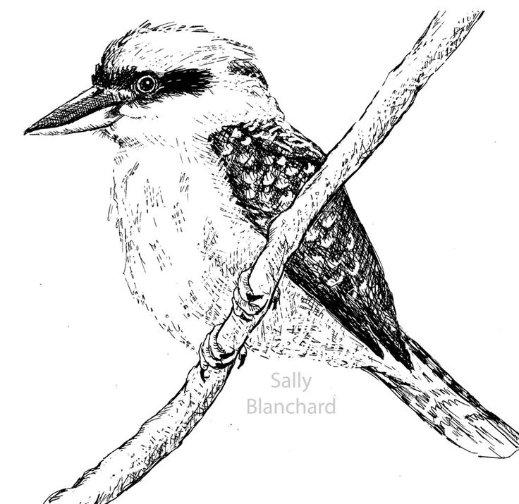 Sally Blanchard Pen Drawing Kookaburra