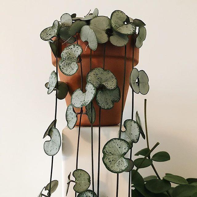 Chinees lantaarn plantje