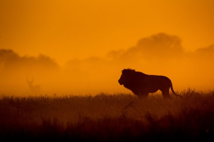 Majestic Lions - South Africa