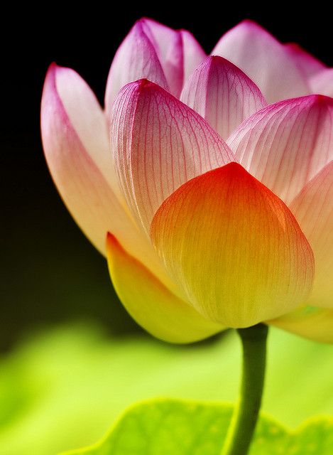 .: Color, Ancient Egypt, Flower Gardens, A Tattoo'S, Lotus Beauty Flower, Inspiration Quotes, Summer Flower, Water Lilies, Lotus Flower