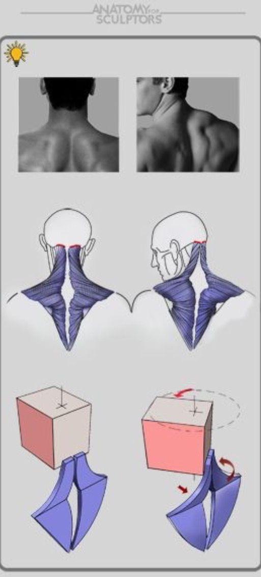 8 besten Neck Bilder auf Pinterest | Anatomieverweis, Zeichnen und ...