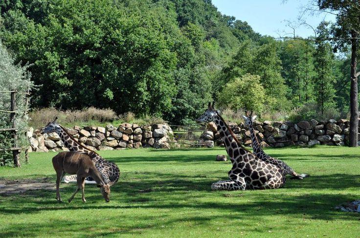 Zoo slaví 5 let s žirafami a nosorožci 22/6/2015 08:08:57  Už pět let chodíme do plzeňské zoologické a botanické zahrady obdivovat tři ladné žirafy, jediné nosorožce indické chované v ČR, podivujeme se nad hrošíky liberijskými či prasaty savanovými. Rozšířit zahradu právě o tato atraktivní a další zvířata umožnilo vybudování nových afrických a asijských expozic.