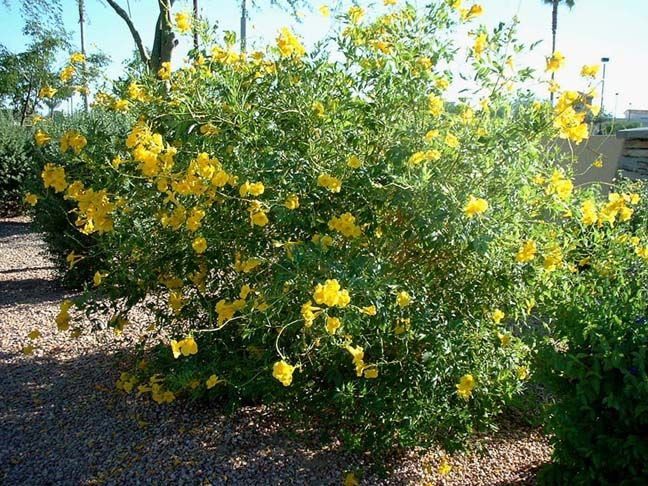 Yellow Bells Arizona Yellow Bells Plants Native