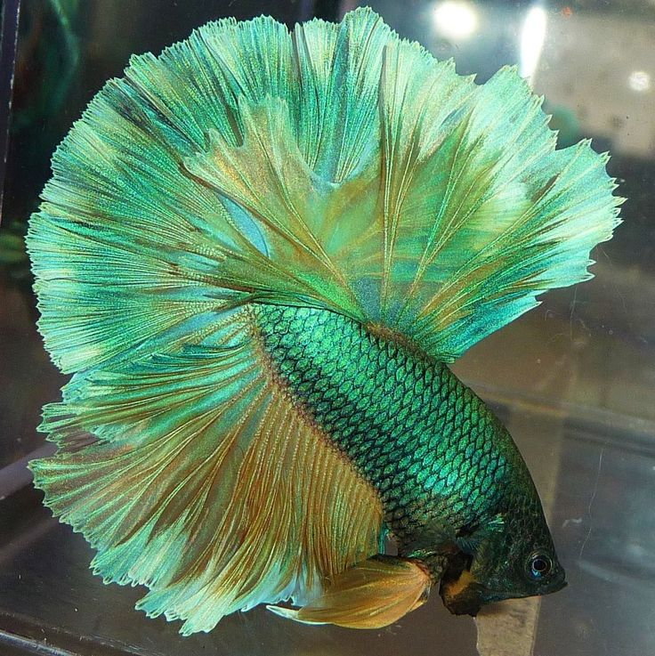 88 best images about betta fish so cute on pinterest for Cute betta fish