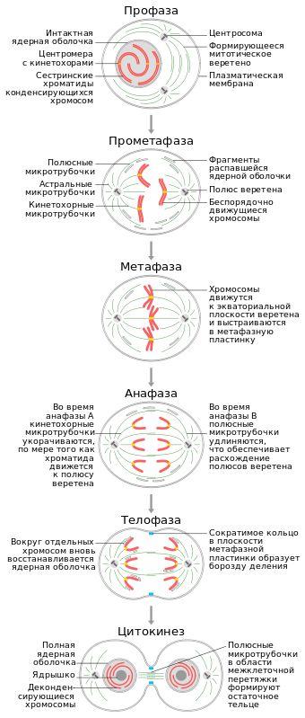 Митоз — Википедия