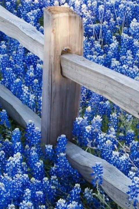 Blue bonnets - Texas, my hubby's home. These are gorgeous when you see the fields and fields of them.