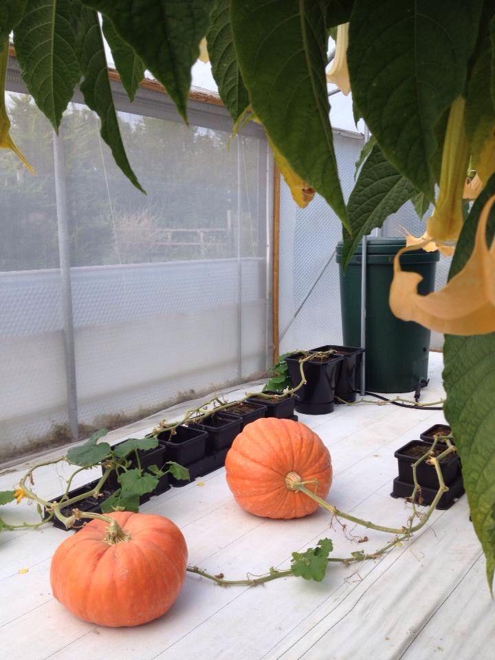 Pumpkins grown in auto-pots #Hydroponics