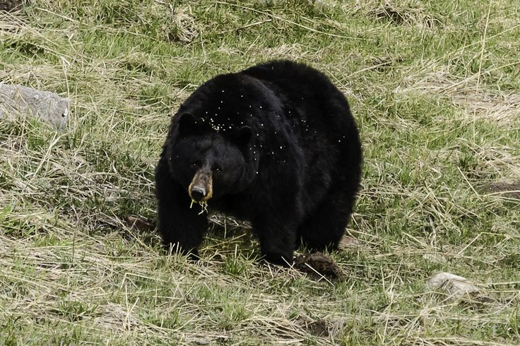 A male black bear in Yellowstone National Park. Wildlife Conservation Society researchers study how black bears live in and outside protected areas such as Yellowstone as a proxy to improve bear habitat management and human-bear co-existence for black bears and grizzly bears outside protected areas.<br />