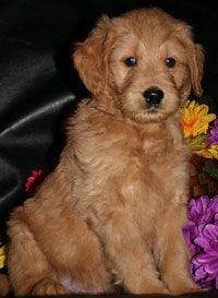 Goldendoodles and Mini Goldendoodles: Minis Goldendoodles Somebody, Healthy Desserts Recipes, Dogs Animal, Families Pet, Goldendoodle1 Com, Minis Goldendoodles Check, Minis Goldendoodles I, Boots, Goldendoodle Dogs
