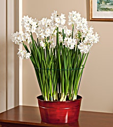 How to do indoor Paperwhites!  Flowers in the middle of winter... yes please!