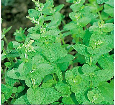 catnip. mosquito repelling plant