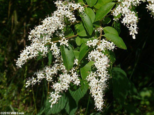 Ligustrum Sinense Chinese Privet White Flowering Treestree