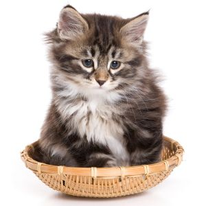 Siberian Kittens For Sale from top Siberian Cat Breeders https://represent.com/kittenshirt
