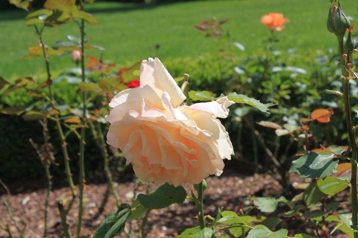 Peach Garden Rose Flowers Garden Pinterest