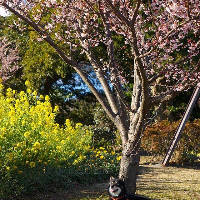 【marumaru1120】さんのInstagramをピンしています。 《* * * 寒波から逃げるように伊豆へ来ております😄 * 伊豆だって寒いだろうと防寒バッチリで来たら、ぽっかぽか☀ * お散歩してたら汗ばむくらい💦 * 途中でユニクロの極暖を脱ぎ、ダウンジャケットも脱ぎ、セーター1枚で歩いても大丈夫でした😁 * #伊豆四季の花公園 では、菜の花とカンザクラが見頃を迎えていて、一足お先に春気分を満喫~🌸 * あぁ…。 寒い埼玉には帰りたくない…😫 * * * #柴犬#黒柴#豆柴#犬#日本犬#shiba#shibainu#blackshiba#Japanesedog#α6000#ミラーレス#ミラーレス一眼#ファインダー越しの私の世界 ✨#カメラ女子#わんダフォ#いぬら部#桜#サクラ#カンザクラ#cherryblossom 🌸#なのはな#菜の花#はなまっぷ#伊豆#花#flower#ダレカニミセタイケシキ #まる *》