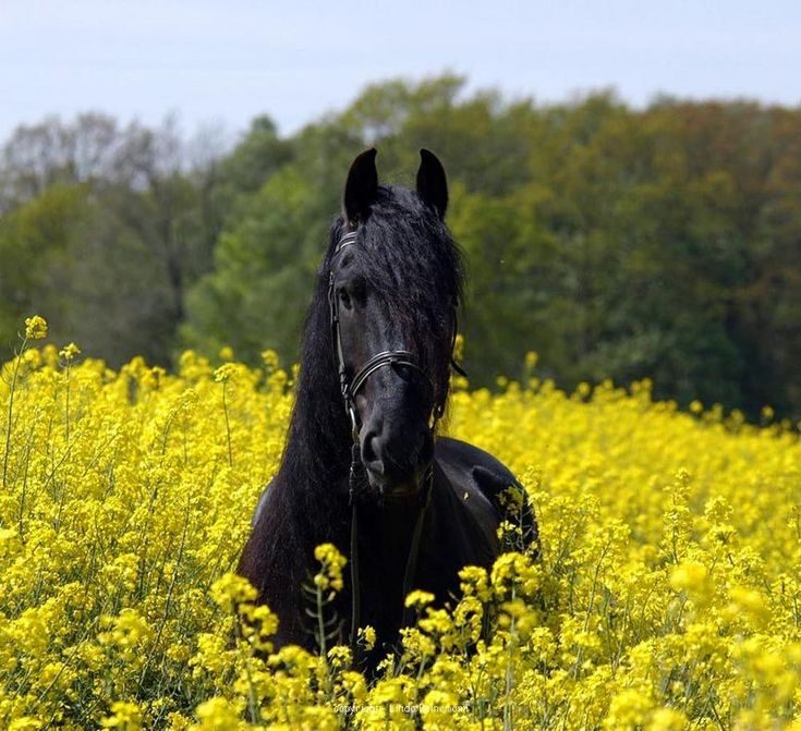 Friesian horse. - by Linda Peinemann