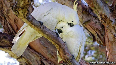 Wild parrots in Australia are apparently picking up phrases from escapee pet cockatoos who join their flocks. Why - and how - can some birds talk?