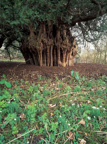 The Ankerwycke yew There may be yew trees in Britain that are older but the 31-ft wide yew (Taxus baccata) found in the ruined priory of Ankerwycke in Berkshire has witnessed at least 2,000 years of history and myth-making. It is said to have been the spot where King John signed the Magna Carta in 1215 and is rumoured to be where Henry VIII conducted his first liaisons with Anne Boleyn. Many yews are found close to abbeys or in church yards.
