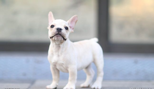 French Bulldog Puppy For Sale In Los Angeles Ca Adn 57529 On Puppyfinder Com Gender Male Age 5 Months Old Bulldog Puppies For Sale French Bulldog Puppy