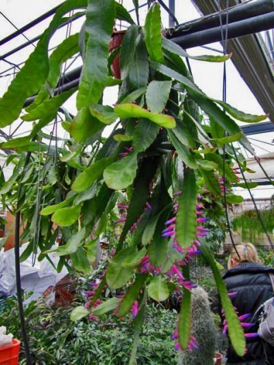Wittia Amazonica Gardening Likes Pinterest