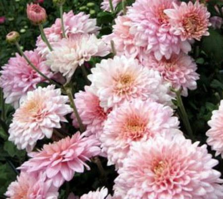 Chrysanthemum indicum Julia, old: Dendranthema (autumn chrysanthemum)