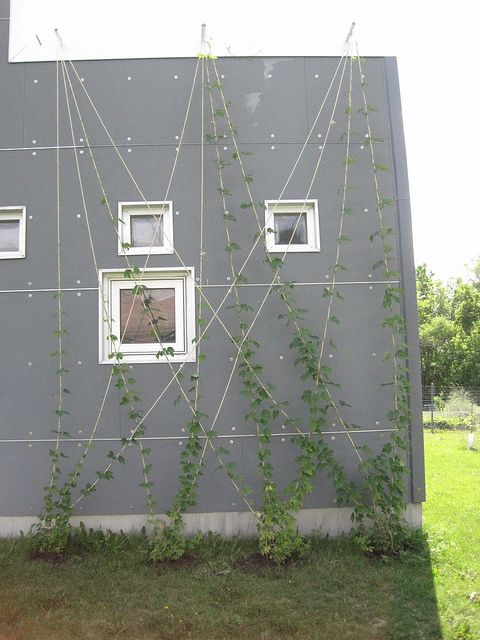 hops on the south wall of our house?